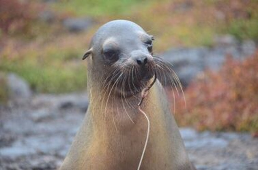 The longline threat returns to Galapagos