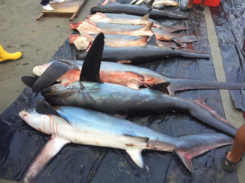 Petition to Save Thresher Sharks