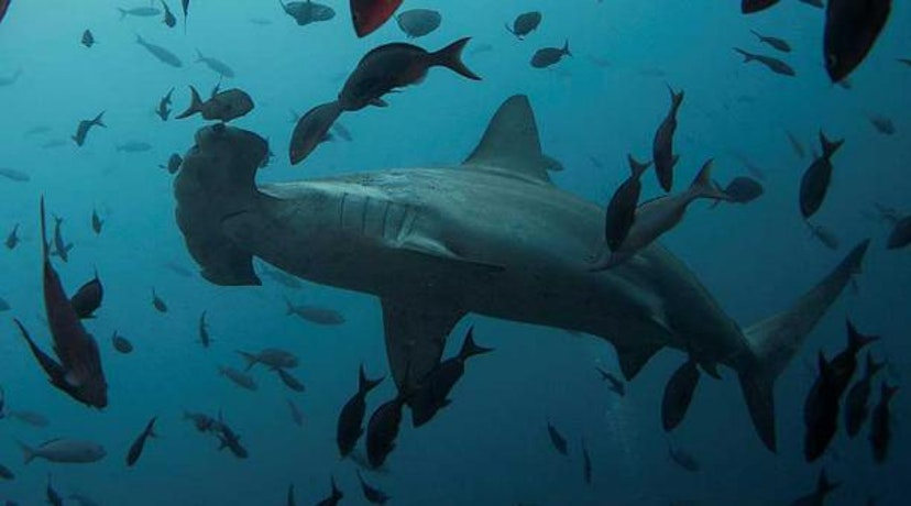 Threats to hammerhead sharks are on therise